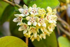 planta de cera, flor de porcelana, hoya camosa, asclepiadceae