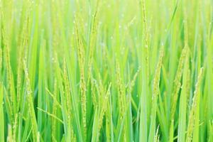 campo de planta de arroz em casca. foto