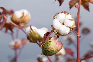 cápsula de algodão foto