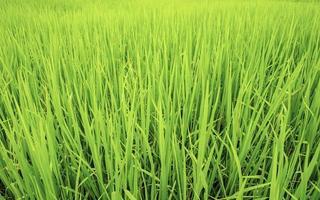 arroz verde exuberante foto