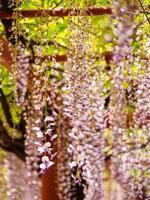 série flores da primavera, wisteria trellis foto