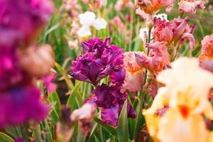 gladíolo em jardim perene em dia ensolarado foto
