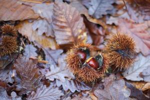 castanha e outono foto