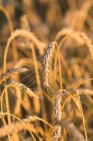 espigas de ouro de trigo sob o céu foto