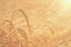 grão de cevada textura pôr do sol de verão