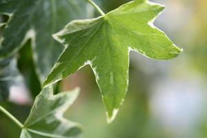 folha de uma ivy inglesa foto