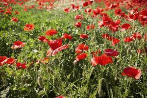 campos de papoilas vermelhas foto