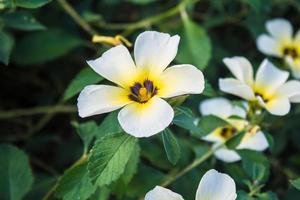 flor de turnera subulata