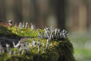 fungo castiçal, xylaria hypoxylon foto