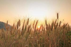 fardos no campo e no pôr do sol, foco suave