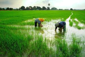 dois trabalhadores em arrozal verde foto