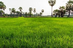 campo de arroz em casca. foto