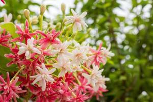 quisqualis indica, também conhecido como madressilva chinesa, rangoon foto