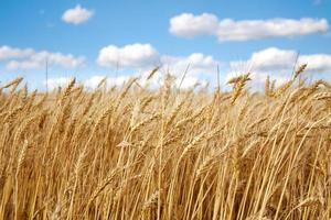 feche o campo de trigo no céu azul foto