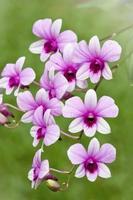 flores da orquídea rosa foto