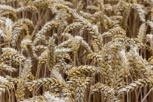campo de grãos foto