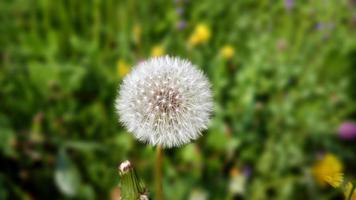 taraxacum ou cabeça de flor dente de leão foto
