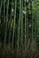 bosque de bambu foto