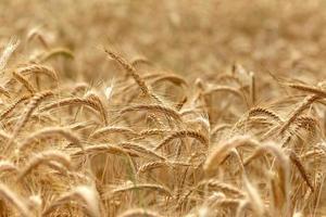 campo de trigo - hora da colheita foto