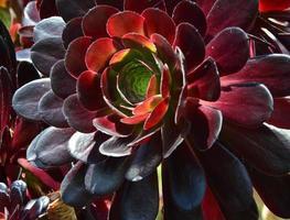 jardins botânicos de Wellington suculentos foto