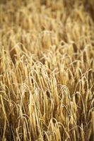 campo de milho dourado, pronto para a colheita foto