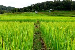 arrozais na estação verde