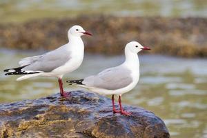 gaivotas hartlaub empoleiradas perto do oceano foto