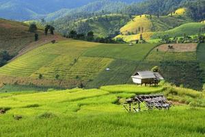 campo de arroz em etapas foto