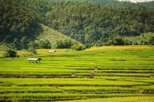 estação de colheita de arroz dourado se aproxima