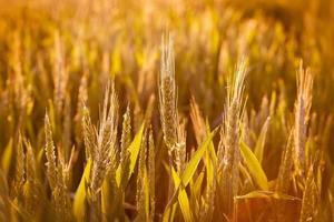 campo de trigo no final do dia foto
