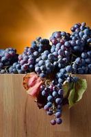 colheita de uvas para fabricação de vinho foto