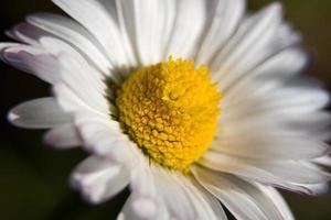 margarida branca floresceu
