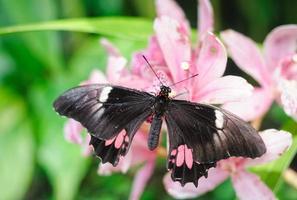 borboleta papilio anchisiades em repouso foto