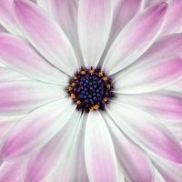 fundo de flor de osteosperum branco e rosa foto