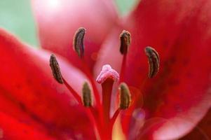flor vermelha coberta de gotas de chuva foto