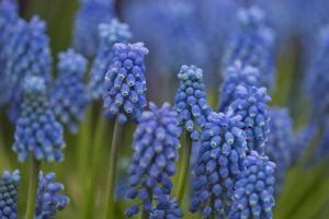 muscari aremeniacum foto