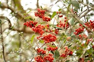 bagas de arbusto firethorn (piracanta)