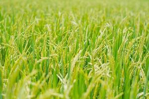 planta de arroz no campo de arroz. foto