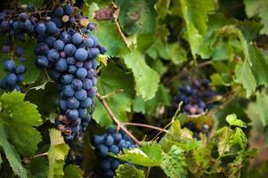 Uvas de vinho tinto maduras e exuberantes na videira foto