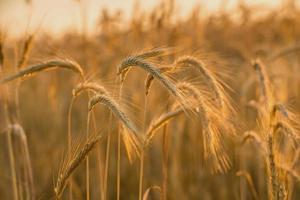 espiguetas de trigo