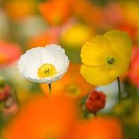 flores coloridas de papoula