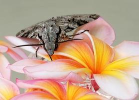 mariposa cinza em frangipani closeup foto
