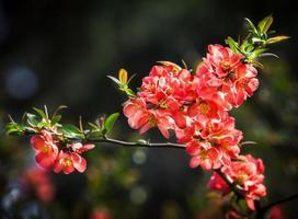 marmelo com flor vermelha foto