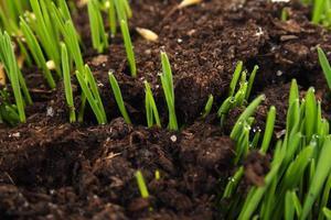 imagem próxima de sementes brotando do solo