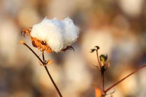 um botão de algodão maduro foto
