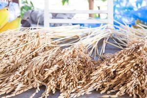 espiga de arroz