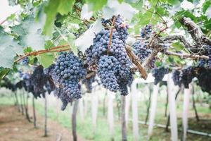 uvas na vinha