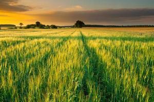 pôr do sol sobre o campo de milho de verão
