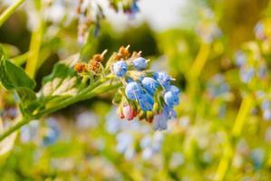flores silvestres azuis