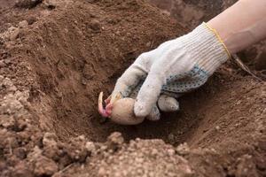 com luvas plantando tubérculos de batata no solo